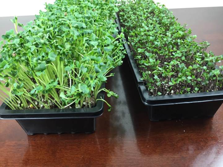 gardenbox review microgreens IMG_2327