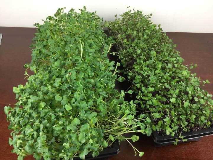gardenbox review microgreens IMG_5100