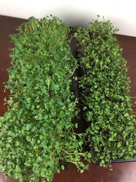 gardenbox review microgreens IMG_5101
