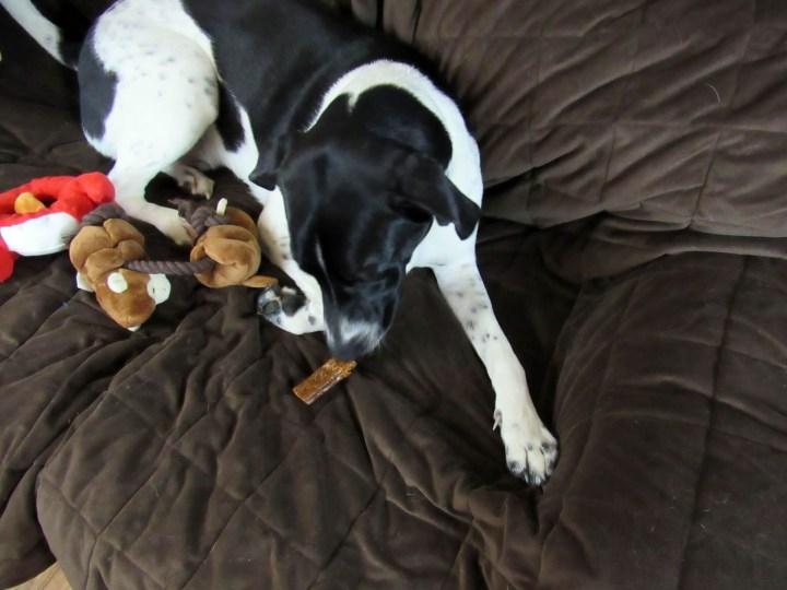 Odie enjoying a chomp stick