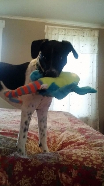 Odie playing with his toy.